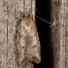 Syringoseca mimica (A concealer moth) at Melba, ACT - 11 Dec 2020 by kasiaaus