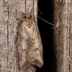 Syringoseca mimica (A concealer moth) at Melba, ACT - 11 Dec 2020 by kasiaaus