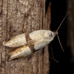 Ardozyga desmatra (A Gelechioid moth) at Melba, ACT - 11 Dec 2020 by kasiaaus