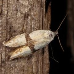 Ardozyga desmatra (A Gelechioid moth) at Melba, ACT - 11 Dec 2020 by kasiaaus