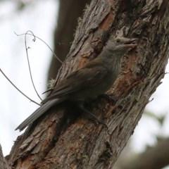 Colluricincla harmonica (Grey Shrike-thrush) at Brogo, NSW - 20 Dec 2020 by Kyliegw