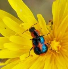 Dicranolaius villosus (Melyrid flower beetle) at Dunlop Grasslands - 22 Dec 2020 by tpreston