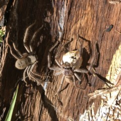 Delena cancerides (Social Huntsman Spider) at Hughes, ACT - 22 Dec 2020 by ruthkerruish