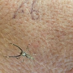 Helpis minitabunda (Jumping spider) at Majura, ACT - 22 Dec 2020 by Ghostbat