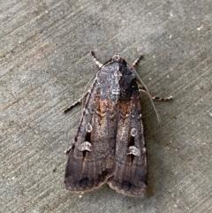 Agrotis infusa (Bogong Moth, Common Cutworm) at Pialligo, ACT - 22 Dec 2020 by Ghostbat