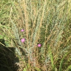 Epilobium sp. (A Willow Herb) at Belconnen, ACT - 9 Dec 2020 by jgiacon