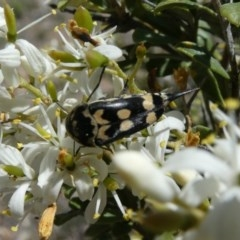 Hoshihananomia leucosticta (Pintail or Tumbling flower beetle) at Tuggeranong Hill - 24 Dec 2018 by Owen
