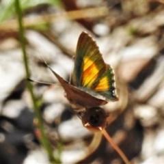 Paralucia aurifer (Bright Copper) at Gibraltar Pines - 22 Dec 2020 by JohnBundock