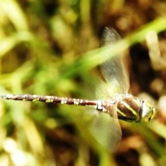 Adversaeschna brevistyla (Blue-spotted Hawker) at Kambah, ACT - 22 Dec 2020 by HelenCross