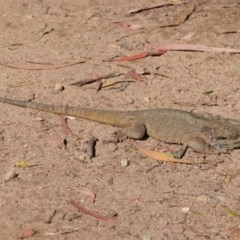 Pogona barbata (Eastern Bearded Dragon) at Federal Golf Course - 22 Dec 2020 by JackyF