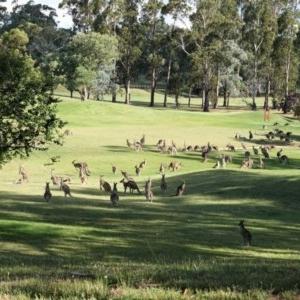 Macropus giganteus at Federal Golf Course - 22 Dec 2020