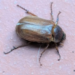 Antitrogus morbillosus (Tableland pasture scarab) at Hughes, ACT - 21 Dec 2020 by JackyF