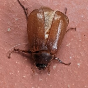 Antitrogus morbillosus at Hughes, ACT - 22 Dec 2020