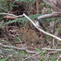 Oryctolagus cuniculus (European Rabbit) at Tidbinbilla Nature Reserve - 21 Dec 2020 by RodDeb