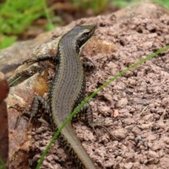 Eulamprus heatwolei (Yellow-bellied Water-skink) at Tidbinbilla Nature Reserve - 21 Dec 2020 by RodDeb