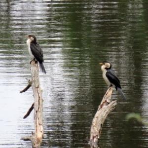 Microcarbo melanoleucos at Tidbinbilla Nature Reserve - 21 Dec 2020