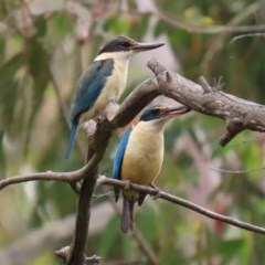 Todiramphus sanctus (Sacred Kingfisher) at Tidbinbilla Nature Reserve - 21 Dec 2020 by RodDeb
