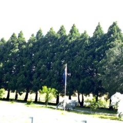 Hesperocyparis macrocarpa (Monterey Cypress) at Murrumbateman, NSW - 2 Dec 2020 by davobj