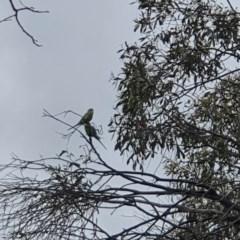 Melopsittacus undulatus (Budgerigar) at Namadgi National Park - 22 Dec 2020 by Sherwood