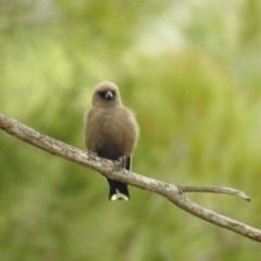 Artamus cyanopterus (Dusky Woodswallow) at Kambah, ACT - 22 Dec 2020 by HelenCross