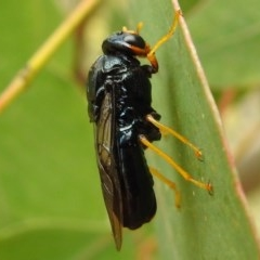 Perginae sp. (subfamily) (Unidentified pergine sawfly) at Kambah, ACT - 23 Dec 2020 by HelenCross