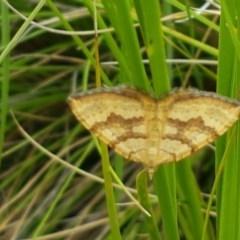 Chrysolarentia correlata (Yellow Carpet) at Bimberi Nature Reserve - 23 Dec 2020 by tpreston