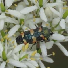 Castiarina sexplagiata (Jewel beetle) at Theodore, ACT - 23 Dec 2020 by Owen