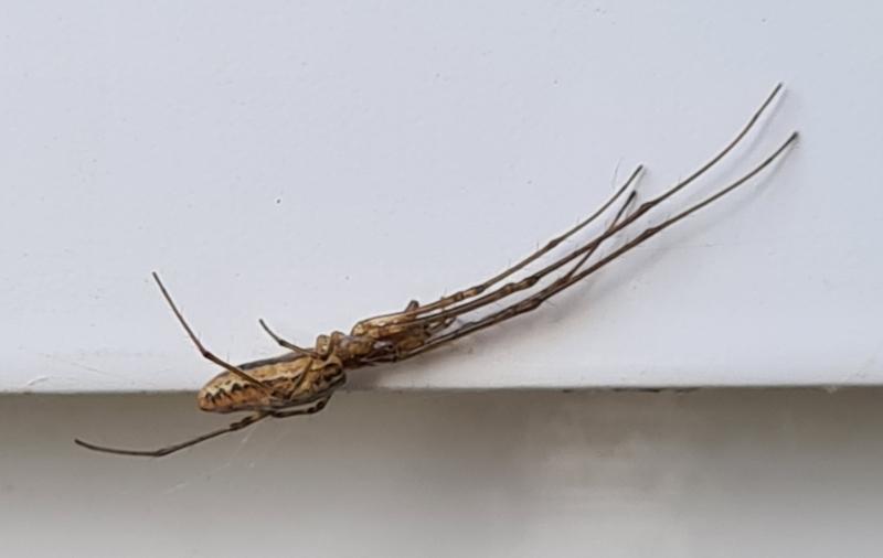 Tetragnatha sp. (genus) at Molonglo Valley, ACT - 23 Dec 2020