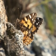 Vanessa kershawi (Australian Painted Lady) at Illilanga & Baroona - 2 Nov 2020 by Illilanga