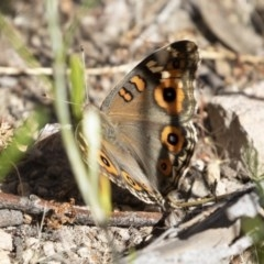 Junonia villida (Meadow Argus) at Illilanga & Baroona - 8 Dec 2020 by Illilanga