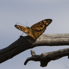 Heteronympha merope (Common Brown) at Illilanga & Baroona - 8 Dec 2020 by Illilanga