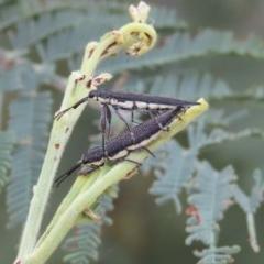 Rhinotia phoenicoptera (Belid weevil) at Theodore, ACT - 22 Dec 2020 by Owen