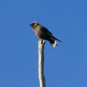 Artamus cyanopterus cyanopterus (Dusky Woodswallow) at Bournda, NSW by Kyliegw