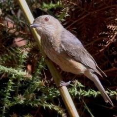 Pachycephala rufiventris (Rufous Whistler) at Bournda, NSW - 21 Dec 2020 by Kyliegw