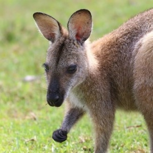 Macropus rufogriseus (Red-necked Wallaby) at Bournda, NSW by Kyliegw