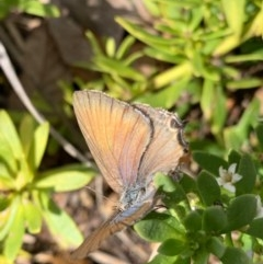 Jalmenus icilius (Amethyst Hairstreak) at Murrumbateman, NSW - 22 Dec 2020 by SimoneC