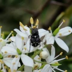 Microvalgus sp. (genus) (Flower scarab) at Tuggeranong Hill - 23 Dec 2020 by Owen