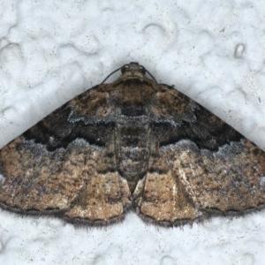 Aporoctena (genus) at Ainslie, ACT - 15 Dec 2020