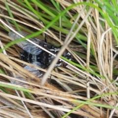 Amphibolia (Amphibolia) sp. (genus & subgenus) (A Bristle fly) at Namadgi National Park - 22 Dec 2020 by tpreston