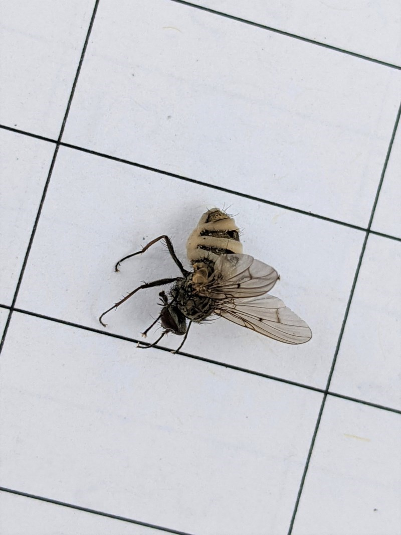 Muscidae sp. (family) at Garran, ACT - 23 Dec 2020