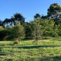 Cacatua sanguinea (Little Corella) at Murrumbateman, NSW - 23 Dec 2020 by SimoneC