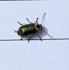 Aporocera (Aporocera) consors (A leaf beetle) at Garran, ACT - 22 Dec 2020 by JackyF