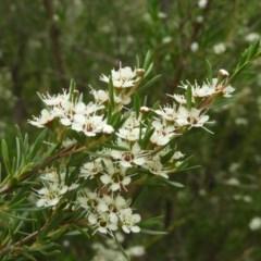 Kunzea ericoides (Burgan) at Kambah, ACT - 21 Dec 2020 by MatthewFrawley