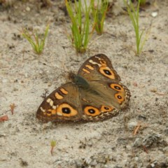 Junonia villida (Meadow Argus) at Mount Taylor - 21 Dec 2020 by MatthewFrawley