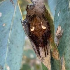 Araneinae (subfamily) (Orb weaver) at Murrumbateman, NSW - 23 Dec 2020 by SimoneC