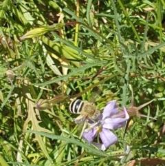 Amegilla (Zonamegilla) asserta (Blue Banded Bee) at Albury - 20 Dec 2020 by ClaireSee