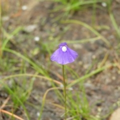 Utricularia dichotoma (Fairy Aprons, Purple Bladderwort) at Mount Taylor - 21 Dec 2020 by MatthewFrawley