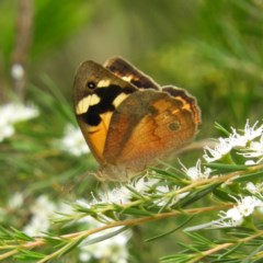 Heteronympha merope (Common Brown) at Mount Taylor - 21 Dec 2020 by MatthewFrawley