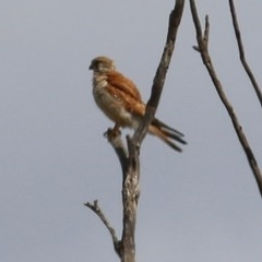 Falco cenchroides (Nankeen Kestrel) at Candelo, NSW - 22 Dec 2020 by Kyliegw