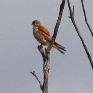 Falco cenchroides (Nankeen Kestrel) at Candelo, NSW by Kyliegw